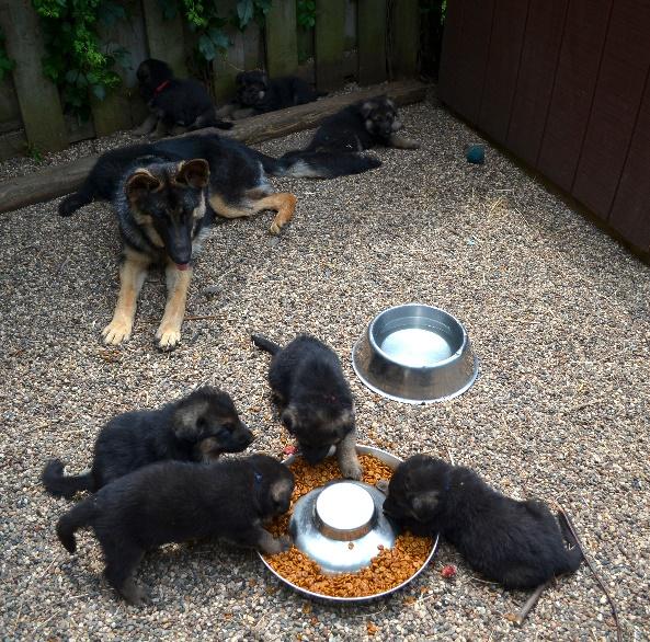 Riverrock German Shepherd Dog Puppies And Upcoming Litters
